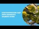 В Ботаническом саду Петра Великого зацвела агава