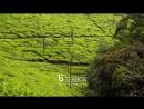 Чайная плантация Коракундах