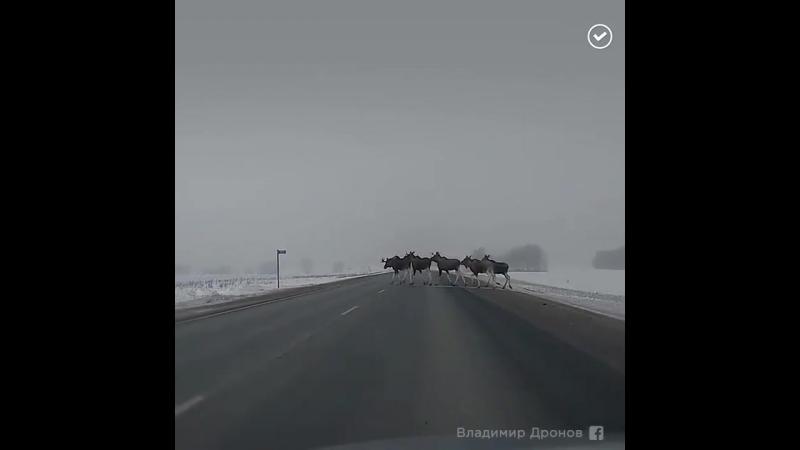 Стадо лосей перебегает дорогу httpst.co_7q6UVxh82R ( MQ ).mp4