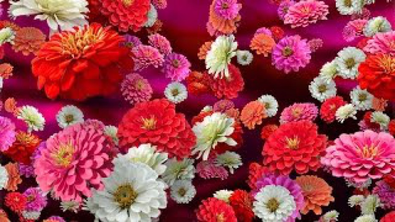 Colorful Zinnias - Floral Background for Videos