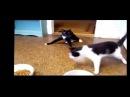 Два пьяных кота. Прикол! Смешное видео про котиков