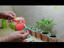 Выращивание рассады ПОМИДОР томатов
