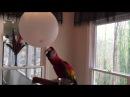 Попугай Ара играет с воздушным шариком Scarlet Macaw parrot is playing with a balloon