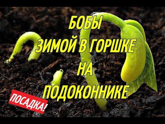 БОБЫ В ГОРШКАХ/ЗИМОЙ НА ПОДОКОННИКЕ.