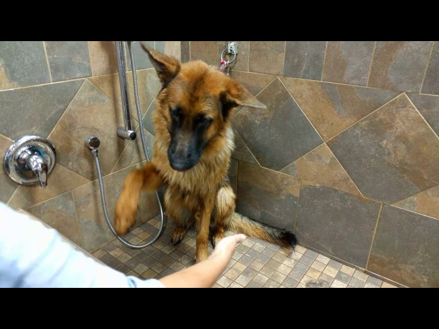 German Shepherd Crying During Bath Time
