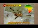 Африканские гиганты ● Camponotus fellah