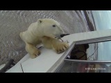 Polar Bear Jumps Up on Truck in Churchill Canada