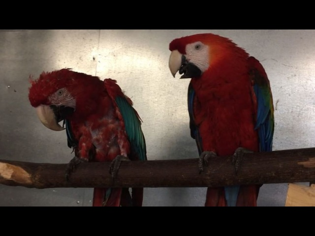 "Zazus House Parrot Sanctuary on Instagram ""Conversations with Mr. Crackers Willy part XVIII crackersdance 🕺🏻greenwingmacaw scarletmacaw sci..."