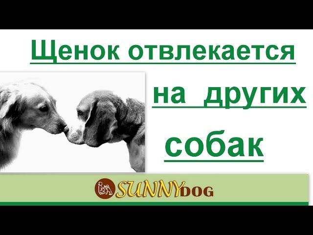 что делать - щенок отвлекается на других собак? как правильно дрессировать?