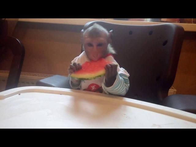 Фёдор кушает арбуз (яванская макака)