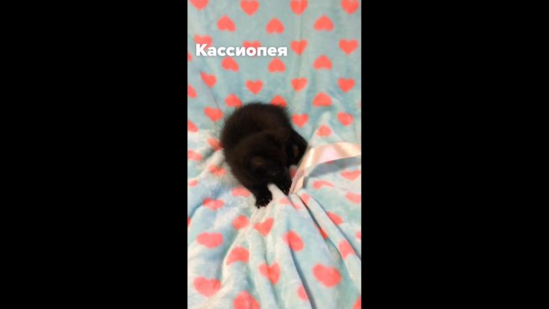 Кассиопея. Отдается котенок, девочка. 2 месяца.