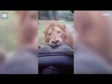 Лев вцепился в запасное колесо внедорожника