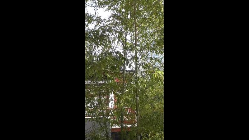 Бамбук на ветру Храм Дзодзё дзи Май 2017