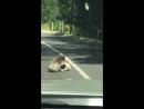 Драка мишек коал