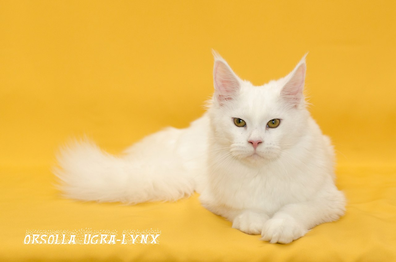 """<span style=""""font-weight: bold;"""">Orsolla Ugra-Lynx</span><br>"""