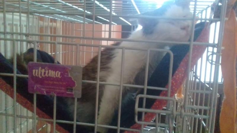 Зайцеобразный Барятинский кот