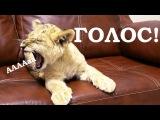 НЕВЕРОЯТНО, ЛЬВЕНОК МЯУКАЕТ на команду голос! домашняя пантера рычит и мяукает! Рычание льва видео!