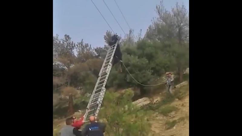 Козел висит на линии электропередач