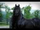 BREAKING World Famous Friesian Stallion is the Star in Upcoming Movie