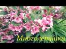 Многолетние цветы для дачи Цветы многолетники Садовые цветы Цветоводство Многолетние растения