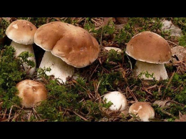 Как вырастить много белых грибов на своем участке