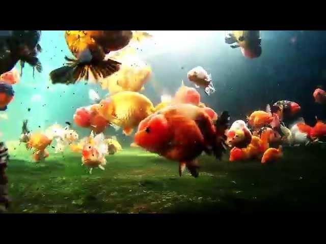 Limas Farm Goldfish Paludarium (Extended Version)