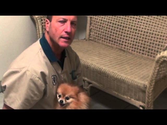 Померанский шпиц с переломами запястий / Pomeranian with bad wrists