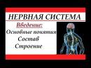 Нервная система человека. Введение: основные понятия, состав и строение.