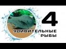 Скат Моторо / Пресноводная мурена / Мастацембел Арматус. Удивительные рыбы. Часть 4.