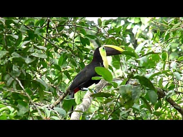 Chestnut-mandibled Toucan / Коричневоспинный тукан / Ramphastos swainsonii
