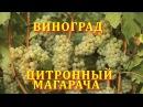 Виноград Цитронный Магарча grape citron magaracha