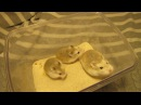 Хомячки Роборовского кремового окраса мама с дочками 1мес