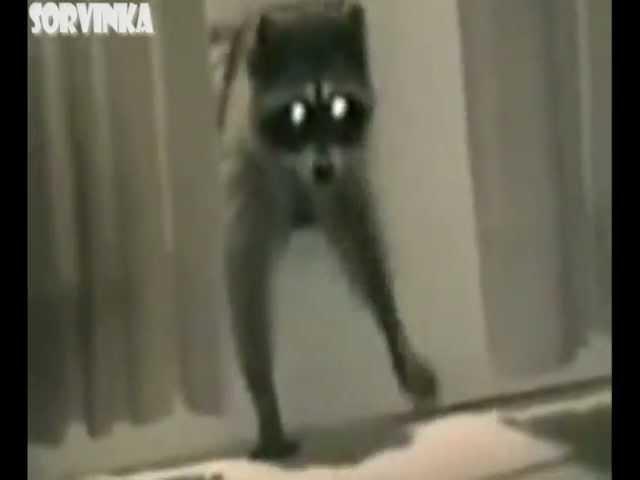 Животные - клептоманы виртуозы. Animals - kleptomaniac virtuosos.