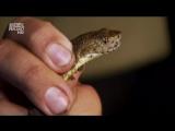 «Под покровом ночи: Ямкоголовые гадюки (Фер-де-Ланс)» (Познавательный, природа, животные, 2008)