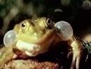Прудовые лягушки