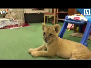 Львёнок подружился со щенком