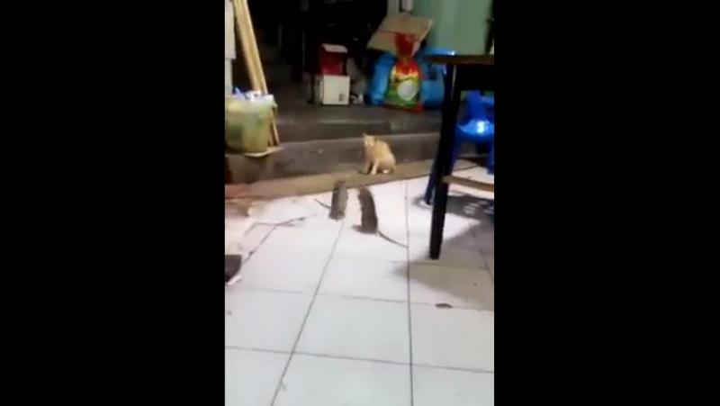 дуэль двух крыс, кот- секундант