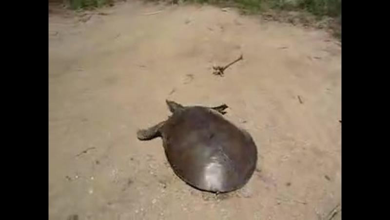 Очень быстрая черепаха))бесплатно ОНЛАЙН ИГРА www.fdworlds.net/reg.php?r=170832 не пропусти свой шанс, молодой проект33