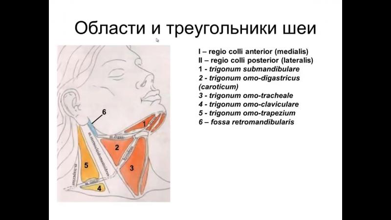 Мышцы и фасции шеи — классификация и топография. Анатомия.