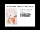 Мышцы и фасции шеи классификация и топография Анатомия