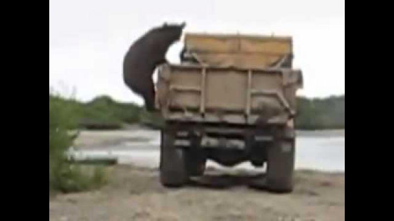 На Камчатке медведь ворует рыбу у рыбаков