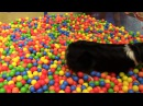 Джет и большая корзина шариков поиск своей игрушки! 10.12.17 на выставке в Хельсинке.