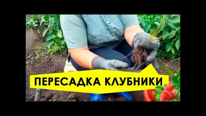 Пересадка клубники на новое место! Подготовка почвы