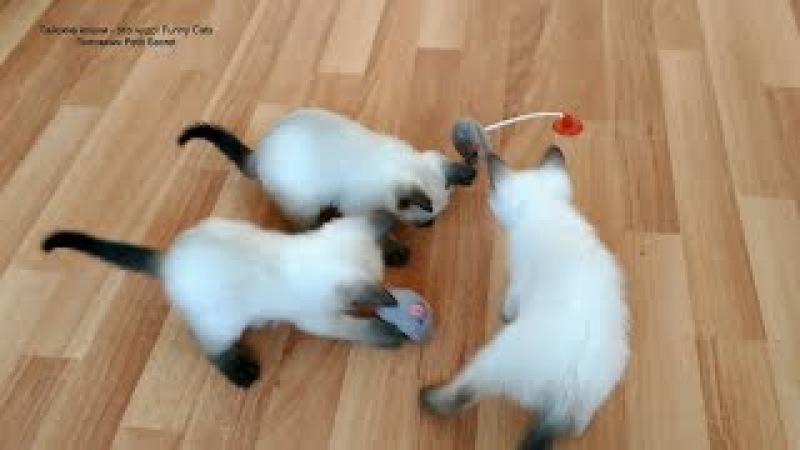 Как тайские котята играли игрушечной чирикающей мышкой и другими игрушками! Тай...