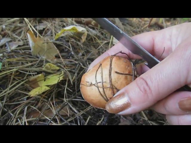 Маслята. Полезные и лечебные свойства. Mushroom oil.