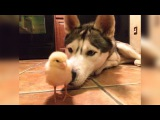 Adorable Dogs Playing with Cute Tiny Baby Animals | FUNNY Everyday Video Compilation