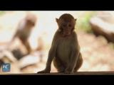 Более сотни обезьян каждый день переплывают реку в поисках еды