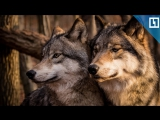 Прогулка с волками по лесу