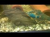 Бурые водоросли в аквариуме с АККРами