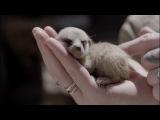 Cutest Baby Meerkat video ever!